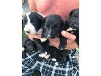 Shollie Puppies