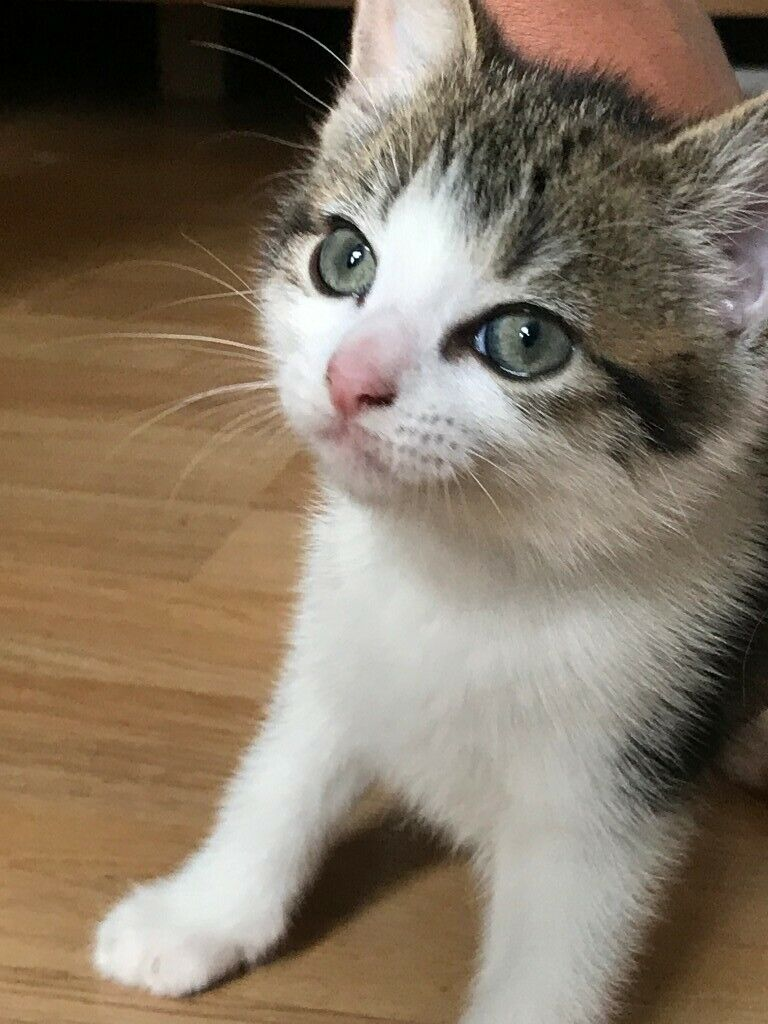 Kittens For Sale In North London London Gumtree