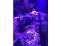 Royal dottyback marine fish