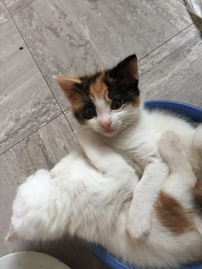1 Tortoiseshell & White AKA Calico kitten and 1 White & Ginger