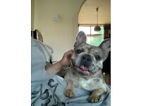 Female French Bulldog 1 Year Old Spayed