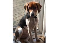 10 month old beagle pup