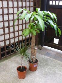 Indoor plants. 2 No. Dracaena Massangeana & Dracaena Marginata. £15