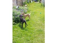 2 x whippet cross puppies