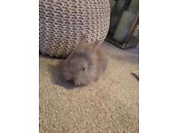 Lilac and chocolate split lionhead