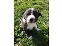 Border Collie Pups- Kilkeel,Co.Down
