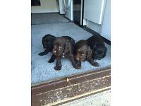 4 Cocker spaniel puppies