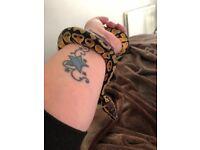 Stunning royal python baby with viv