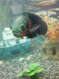 Tiger oscar fish 8 inches long