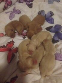 2beautiful Labrador pups for sale 2 males both creamy Biege ready now