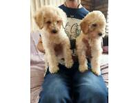 Labradoodle F2B pups