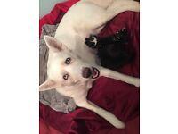 Blue eyed Husky x Doberman Puppys