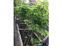 Horse Chestnut Conker trees