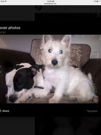 For sale 9 month old male west highland white