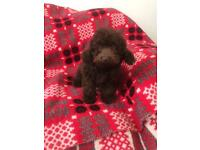 Male Chocolate toy poodle puppy