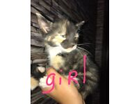 10weeks old kittens for sale 2 girls and 1 boy