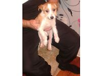 Chihuahua x minature jack russell for sale
