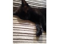 Make black kitten £40 comes with everything