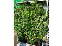 Large 5 ft Laurels now in stock , instant hedge