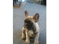 French bulldog girl kc registered house trained