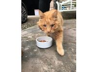 Found female ginger cat