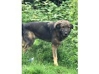 German shepherd cross Malley handsome ( Dexter)