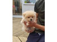 Gorgeous HQ Miniature Cream Pomeranian Puppy Boy Available Now