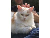 Missing cat New Milton area last seen Monday 6th Aug