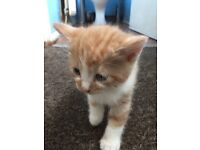 Ginger and one male kitten £25