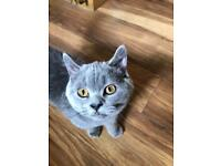 GCCF Registered British Shorthair Kitten