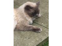 Ragdoll cat / kittens