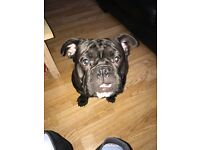 Old tyme Bulldog 1 year old