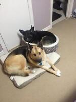 Lost Dogs (shepherd & shepherd/husky)