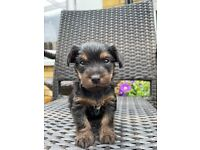 4 beautiful Yorkshire terrier puppies
