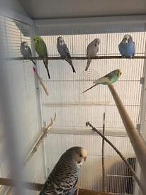 6 Budgies + Cage