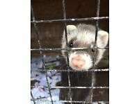 Ferrets for sale - mixture