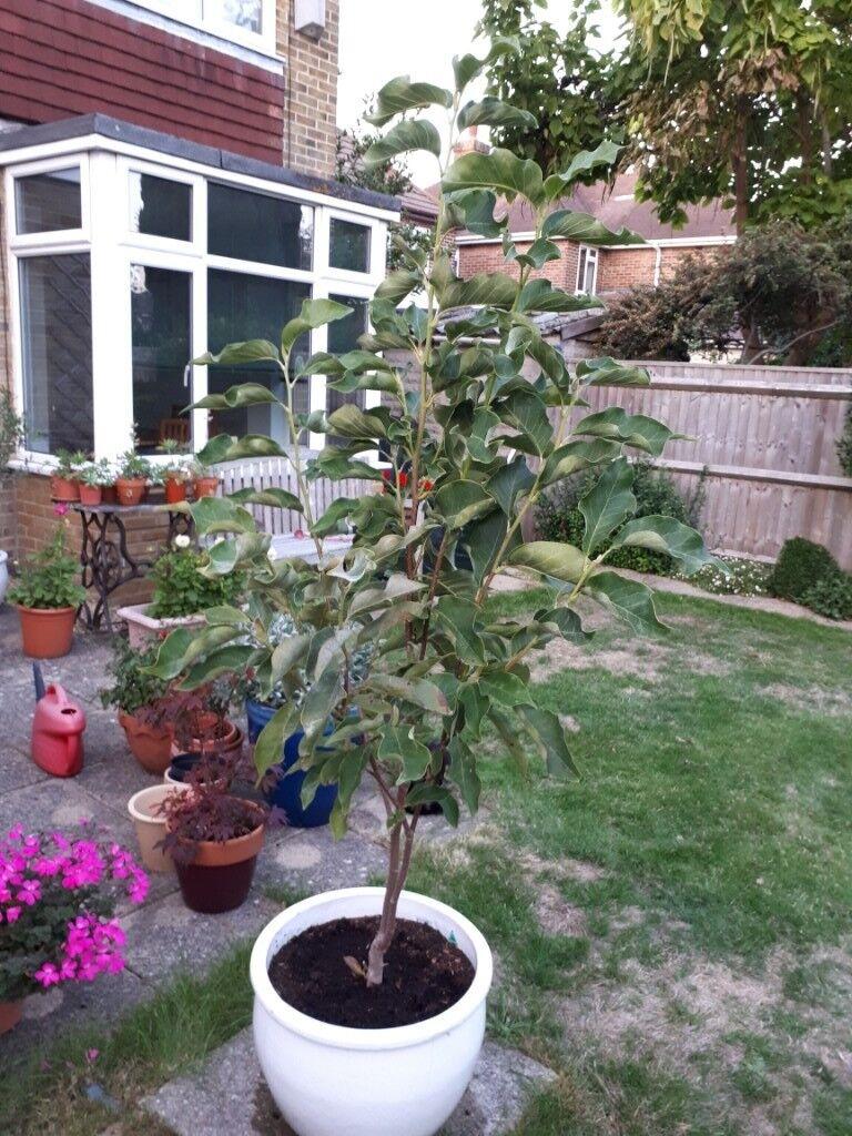 Magnolia Heaven Scent Shrub For Sale 16m In Southampton