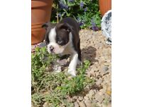 Last boston terrier boy left