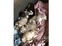 5 Siberian husky puppies ad update