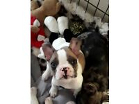 French Bulldog Puppies. Now 10wks old.2 boys 1girl...