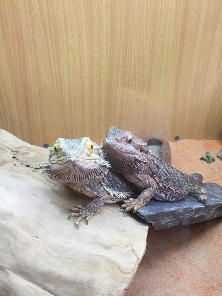 Bearded Dragons For Sale Includes Full Setup! - CAN BE