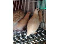 Golden quails