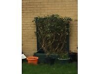 Green Plastic planter with trellis, comes with Hedera Helix Ivy Shrub