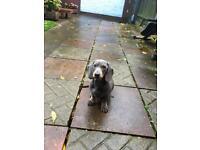 Miniature dachshund girl