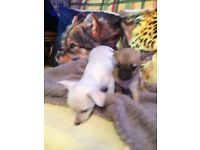 Friendly Chihuahua Puppies For Sale - 3 Left