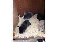 Lionead x baby rabbits