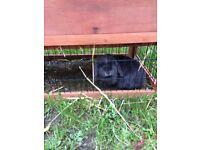 pedigree netherblue rabbit girl rabbit 1 year old