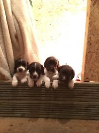 Liver and white springer spaniel puppies