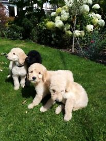 Labradoodle Puppies. Reduced only 2 left.
