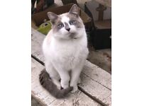 Nice cream and silver cat 10 months £100